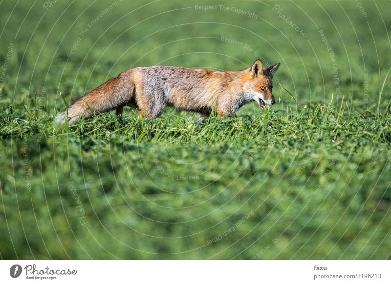 fox Fox Animal Nature Mammal Forest Wild animal Cute Animal portrait Meadow Field Close-up Food Orange Exterior shot Land-based carnivore Mouse Hind leg Flag