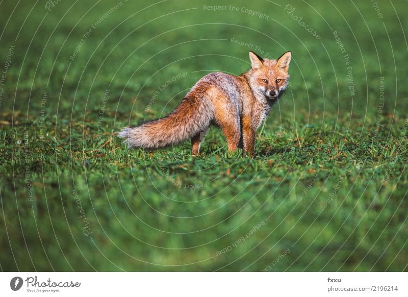 fox Environment Nature Landscape Animal Wild animal 1 Brown Green Hunting Nature reserve Colour photo Deserted Copy Space Above Day Feeble Animal portrait