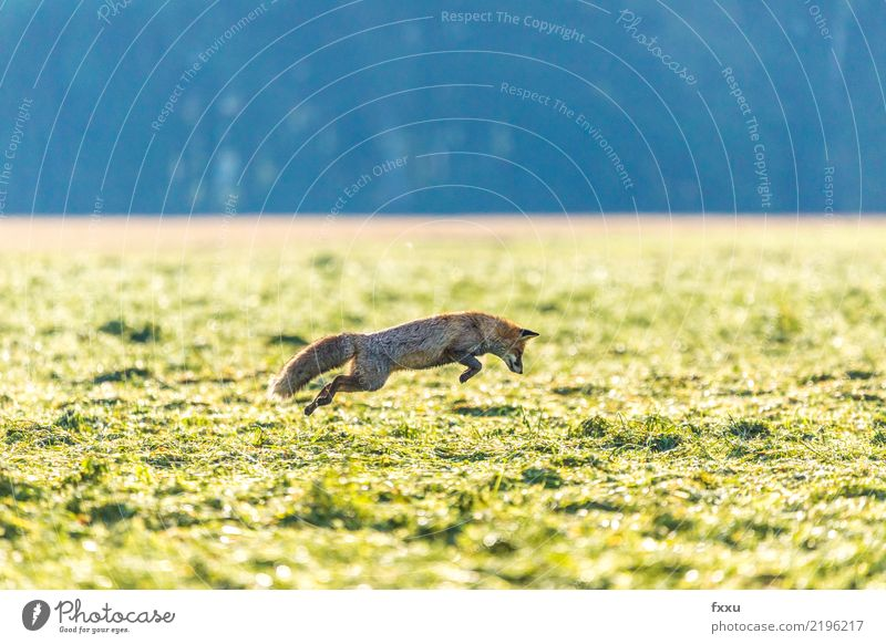Catch the mouse Environment Nature Landscape Animal Wild animal 1 Animal tracks Green Fox Jump Hunting Nature reserve National Park Colour photo Deserted