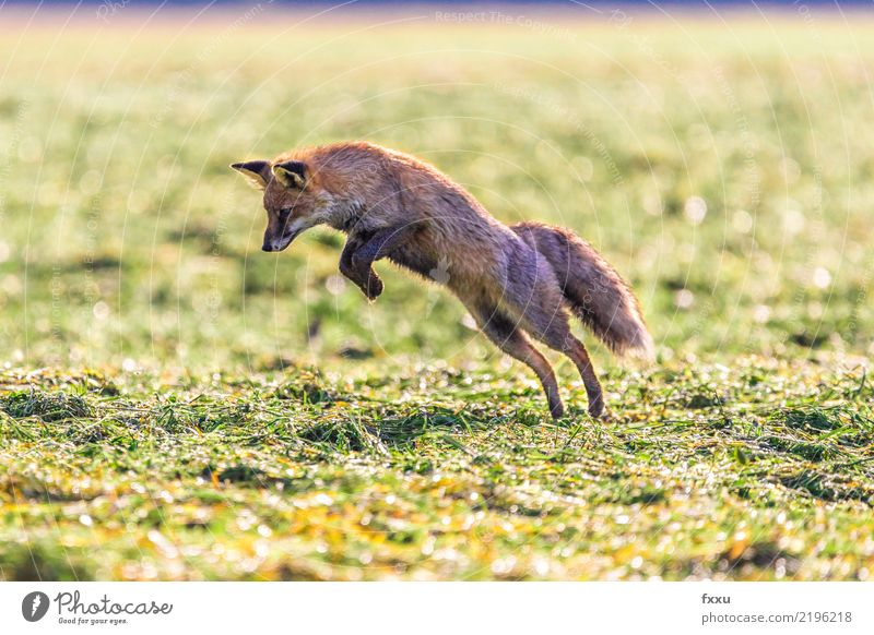 You got me! Fox Animal Nature Mammal Forest Wild animal Cute Animal portrait Meadow Field Close-up Jump Food Orange Exterior shot Land-based carnivore Mouse
