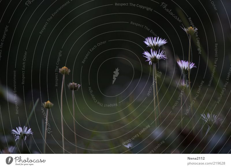 end of summer Nature Plant Autumn Flower Blossom Wild plant Meadow Beautiful White Daisy 3 Patch of light Last Faded Colour photo Exterior shot Close-up