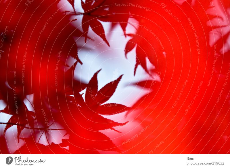 Nature Plant Red Leaf Autumn Environment Esthetic Autumn leaves Autumnal Leaf canopy Japan maple tree