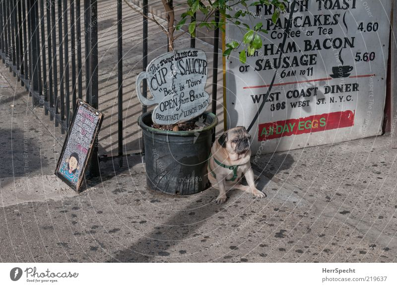 Mopsfidel? Not with me... Restaurant Animal Pet Dog 1 Hideous Brown Gray Sadness Loneliness Chained up Leashed Dog lead Sit Wait Pot plant Insulted Pug Sidewalk