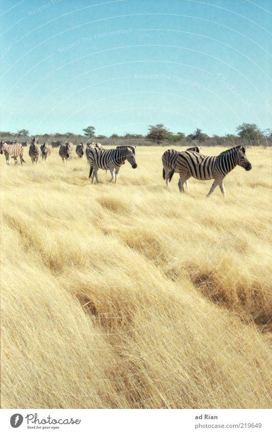 roam the savannah Landscape Sky Grass Bushes Etosha pan Savannah Namibia Africa Animal Wild animal Zebra Group of animals Herd Dry Wilderness Freedom