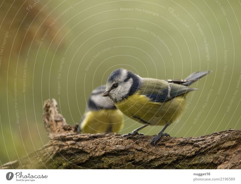 Blue Tit Environment Nature Animal Spring Summer Autumn Beautiful weather Plant Tree Garden Park Forest Wild animal Bird Animal face Wing Claw Tit mouse 1