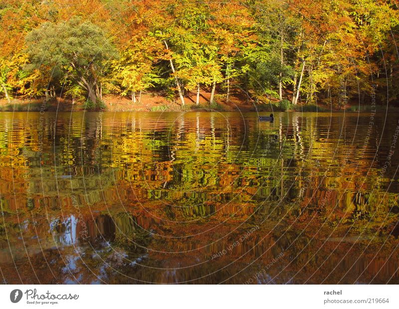 Afternoon at the lake Nature Landscape Water Autumn Beautiful weather Tree Bushes Park Forest Lakeside Pond Duck 1 Animal Relaxation Colour Break Change