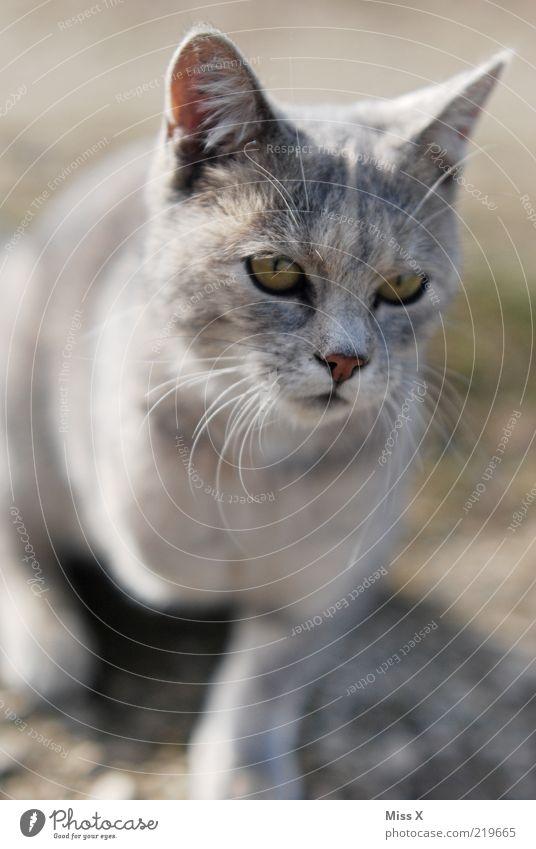 Animal Eyes Gray Cat Baby animal Nose Ear Pelt Pet Cuddly Domestic cat Whisker Light Cat eyes