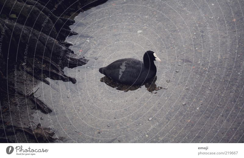 Water Black Animal Dark Bird Feather Swimming & Bathing Creepy Lakeside Duck Beak Root Float in the water Surface of water Water reflection Coot