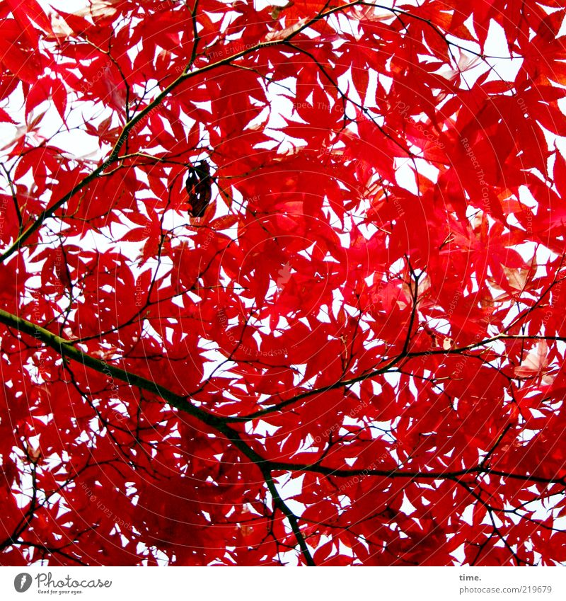 autumn fire Elegant Exotic Beautiful Life Environment Nature Plant Autumn Tree Leaf Glittering Growth Authentic Exceptional Red Power Maple tree Colour photo