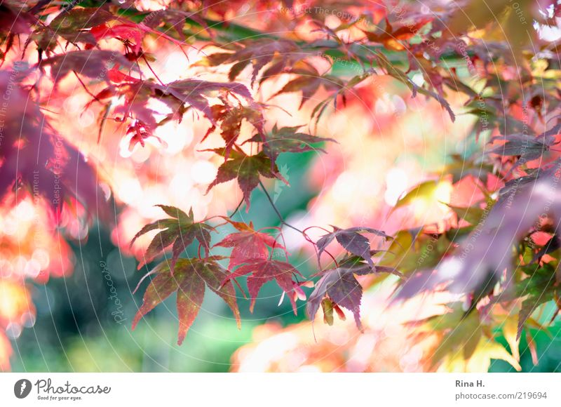 Nature Green Plant Red Leaf Autumn Moody Pink Gold Time Esthetic Change Transience Joie de vivre (Vitality) Natural Illuminate