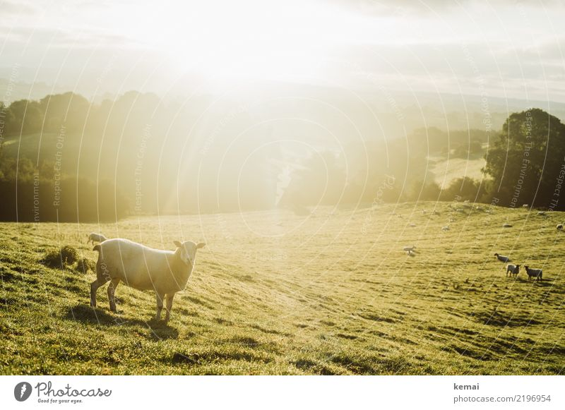 Sheep in the light Well-being Relaxation Calm Leisure and hobbies Trip Freedom Nature Landscape Sky Summer Beautiful weather Warmth Meadow Hill England Animal