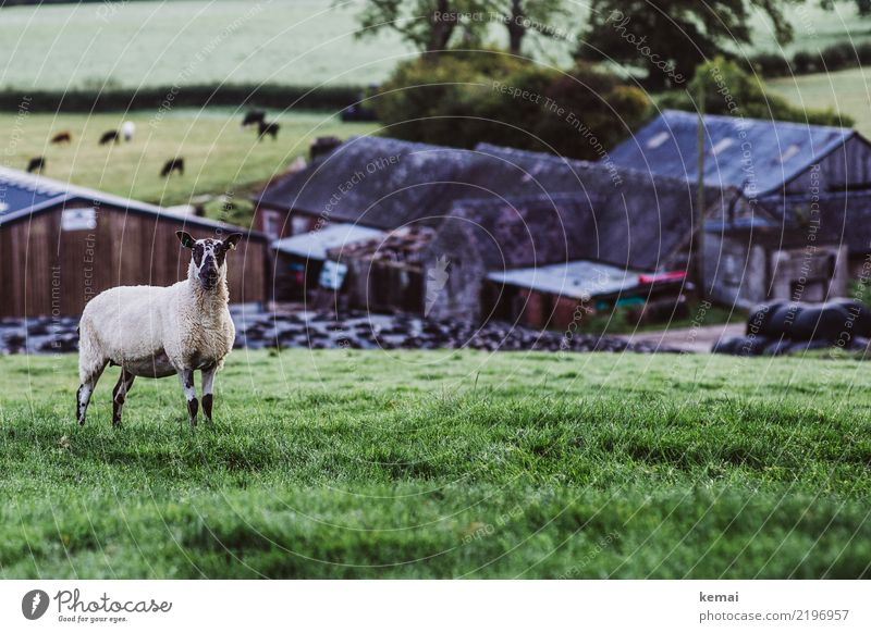 farm sheep Harmonious Well-being Contentment Senses Relaxation Calm Leisure and hobbies Trip Freedom Nature Landscape Summer Beautiful weather Grass Field Hill