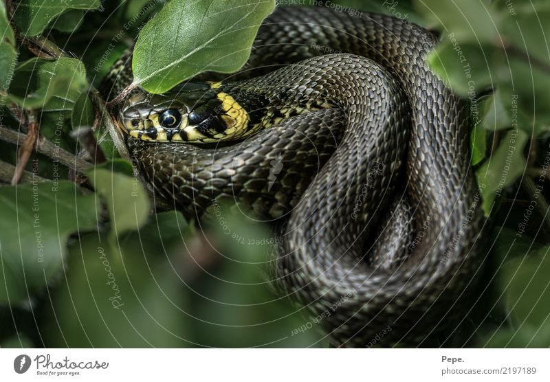 RINGEL snake Nature Bushes Wild animal Snake 1 Animal Cold Green Ring-snake Sunbathing Beech leaf Yellow Reptiles Colour photo Macro (Extreme close-up)