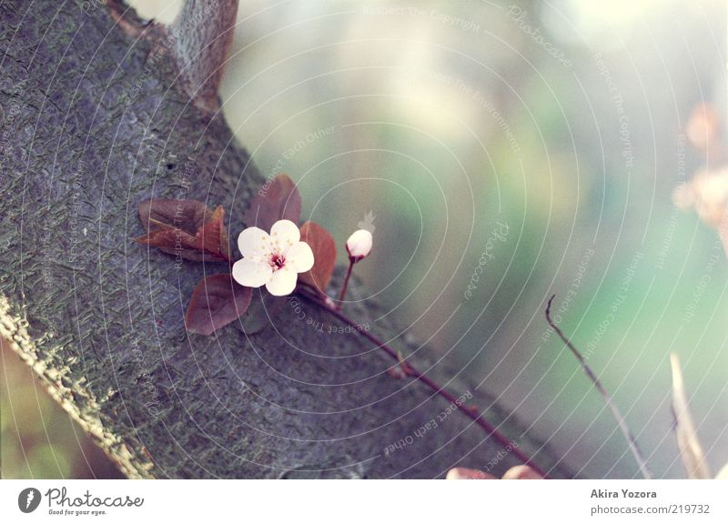 Lean back and enjoy Plant Sunlight Spring Tree Leaf Blossom Cherry tree Cherry blossom Tree bark Touch Blossoming Relaxation Growth Esthetic Brown Green Pink