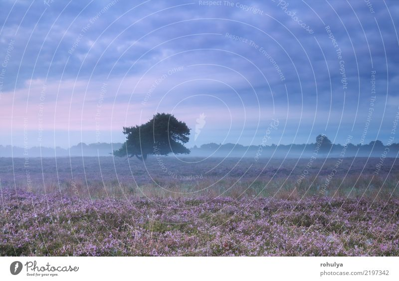 misty morning on heather flowering meadow in summer Summer Nature Landscape Sky Clouds Horizon Fog Tree Flower Blossom Wild Pink Serene Mountain heather ling