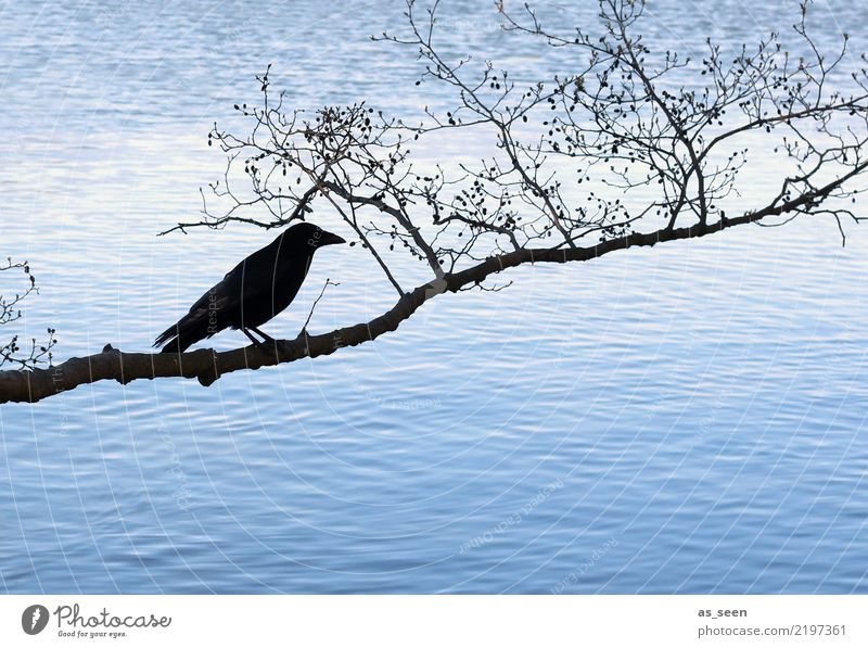 abraxas Hallowe'en Environment Nature Water Autumn Winter Tree Branch Twig Coast Lake Bird Raven birds 1 Animal Crouch Dark Blue Black Emotions Fear Bizarre