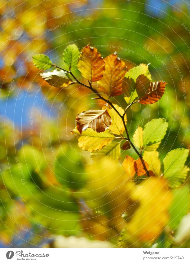 Green Blue Leaf Yellow Forest Life Autumn Wood Brown Gold Illuminate Fragrance Seasons Twig Autumn leaves October