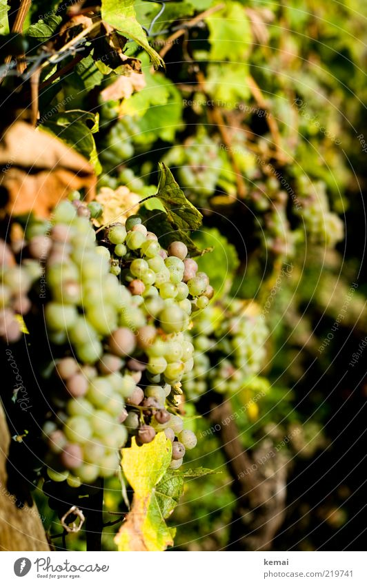 sunbathe Environment Nature Plant Sunlight Autumn Beautiful weather Warmth Agricultural crop Vine Bunch of grapes Hang Illuminate Growth Bright Delicious Green