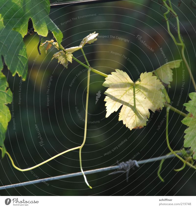 Good vintage? Autumn Agricultural crop Illuminate Vine Leaf Rachis Translucent Vine leaf Vine tendril Tendril Wire To hold on Detail Day Shadow Sunlight