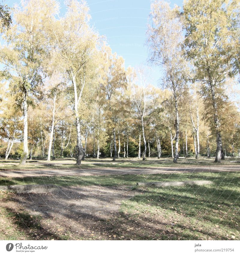 birches Nature Landscape Autumn Plant Tree Birch tree Blue Green Colour photo Exterior shot Deserted Day Shadow Recreation area Calm Beautiful weather Many