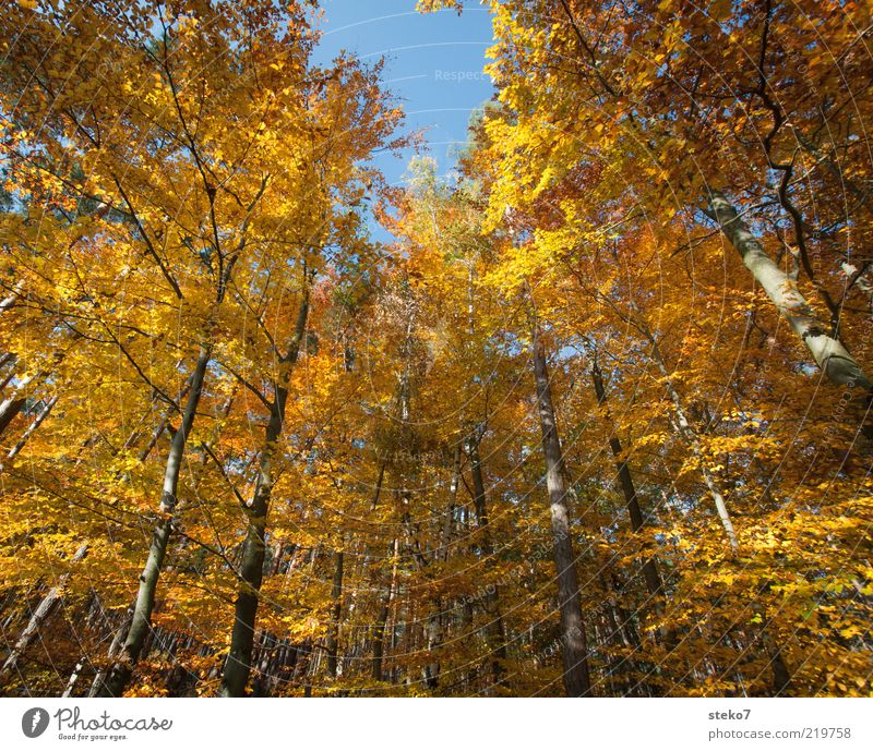 The Golden Age I Autumn Tree Forest Old Change Beech wood Bright Colours Brown Colour photo Exterior shot Deserted Wide angle Treetop Autumnal Autumnal colours