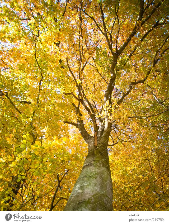 Old Forest Autumn Tall Change Illuminate Treetop Airy Autumnal Autumnal colours Leaf canopy Indian Summer Beech wood Yellow-gold