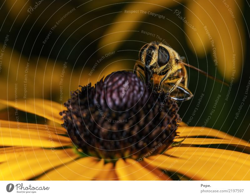blossom Environment Nature Autumn Flower Blossom Animal Bee Wing Eating Feeding To enjoy Crawl Yellow Nectar Colour photo Macro (Extreme close-up) Day