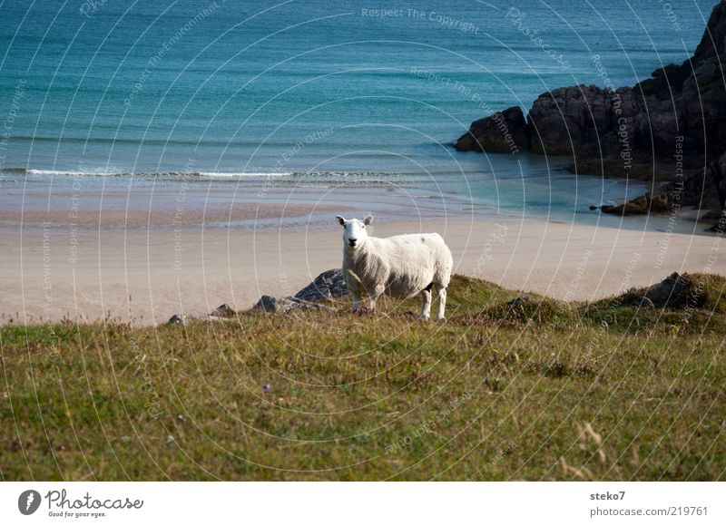 Beach Loneliness Animal Far-off places Meadow Coast Waves Pasture Sheep Scotland Farm animal Emotions