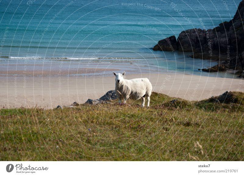 Beach Loneliness Animal Far-off places Meadow Coast Waves Pasture Sheep Scotland Farm animal Emotions