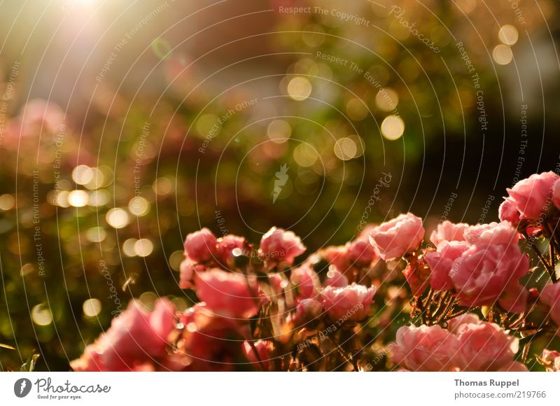 Roses in the sun Nature Plant Sunlight Summer Autumn Beautiful weather Flower Bushes Leaf Blossom Foliage plant Garden Park Blossoming Illuminate Warmth Pink