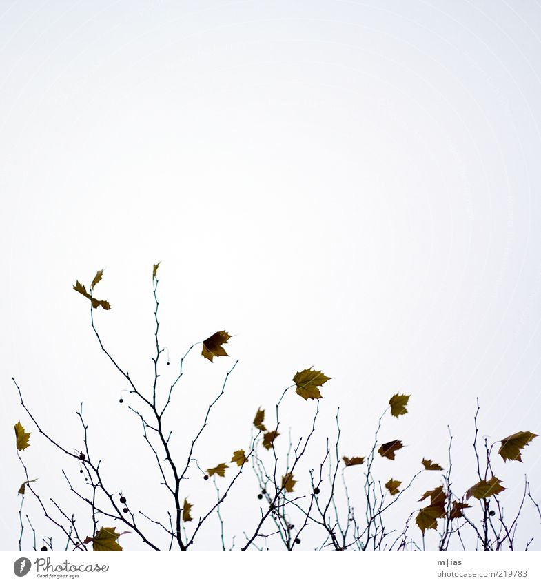 Nature Tree Plant Leaf Autumn Movement Wind Weather Transience Branch Decline Twig Abstract Last Autumnal Cloudless sky