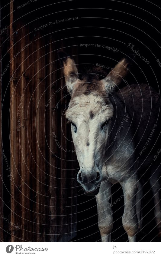 Donkey in the barn gate Nature 1 Animal Door Barn Wood Looking Dark Gloomy Brown White Earnest Obstinate Colour photo Exterior shot Long shot