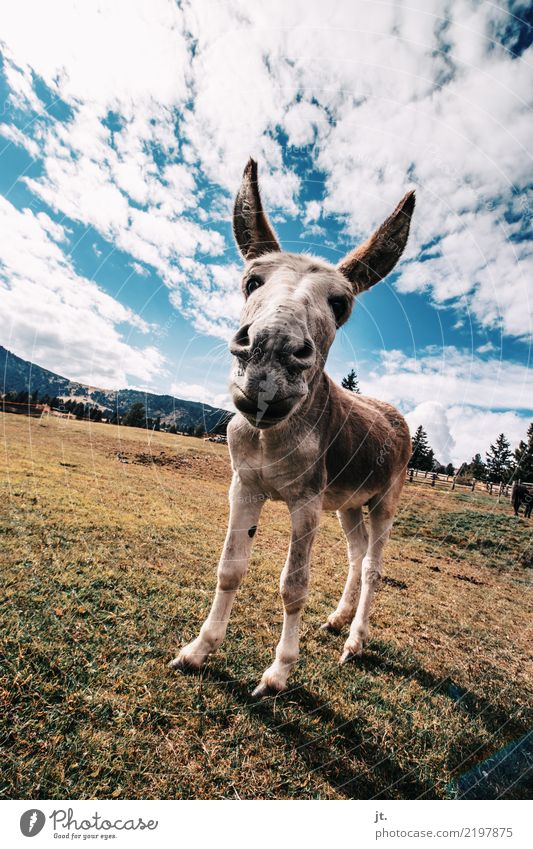 ass Environment Nature Plant Animal Sky Clouds Autumn Grass Meadow Mountain Donkey 1 Stand Blue Brown Yellow Green Love of animals Obstinate Colour photo