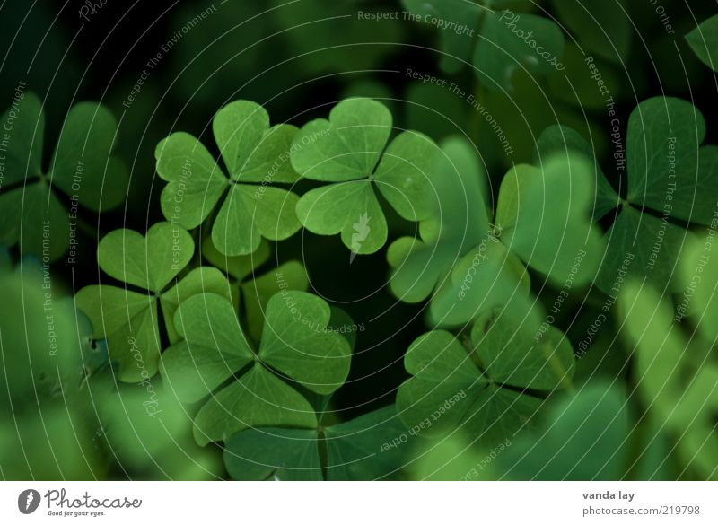 luck Nature Plant Spring Leaf Meadow Happy Clover Cloverleaf Colour photo Multicoloured Exterior shot Deserted Copy Space top Shallow depth of field