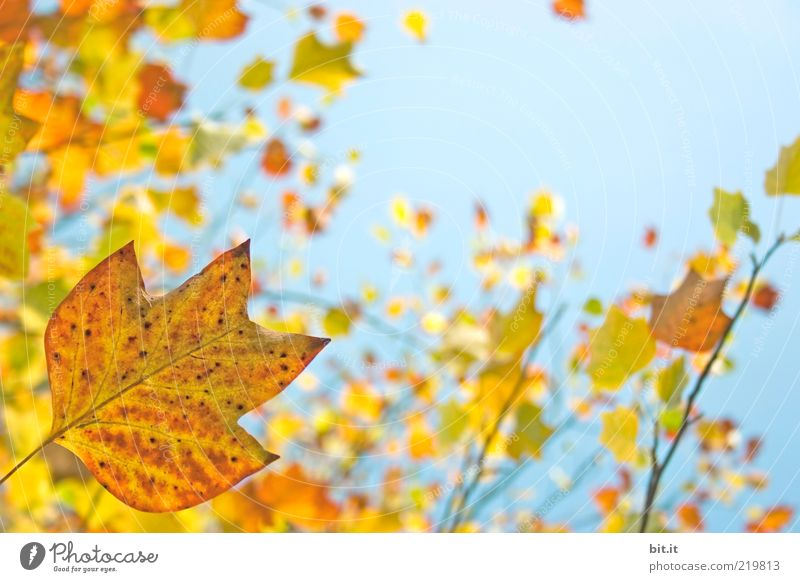 Fresh into autumn...(X) Nature Plant Air Sky Cloudless sky Autumn Climate Weather Beautiful weather tree flaked Foliage plant Blue Yellow Environment Transience