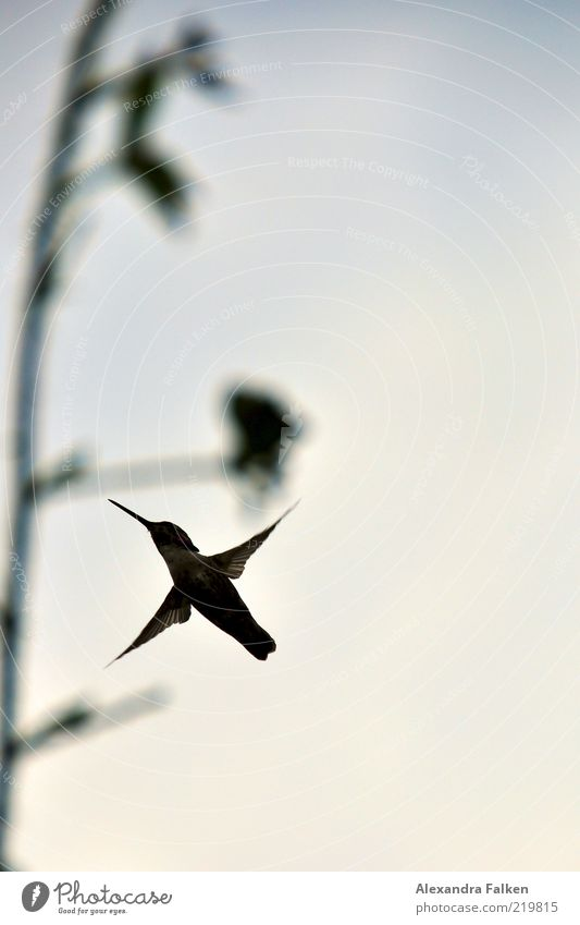 hummingbird Environment Nature Animal Bird Hummingbirds 1 Flying Judder Hover Colour photo Subdued colour Exterior shot Deserted Copy Space right Copy Space top