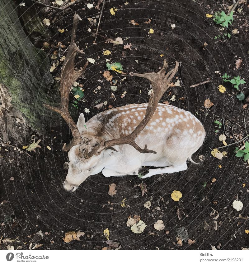 forest dwellers Environment Nature Autumn Forest Animal Wild animal Deer Fallow deer 1 Relaxation Lie Sleep Cute Brown Yellow Safety (feeling of) Serene Patient