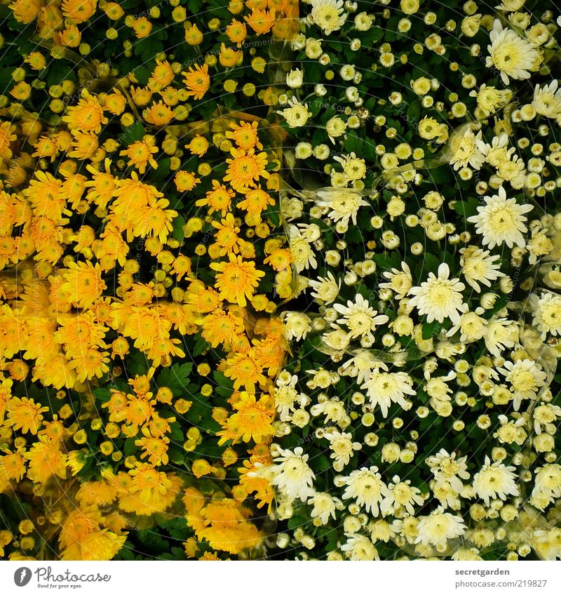 Nature White Flower Plant Summer Yellow Blossom Spring Line Fresh Happiness Warm-heartedness Middle Blossoming Bud Full