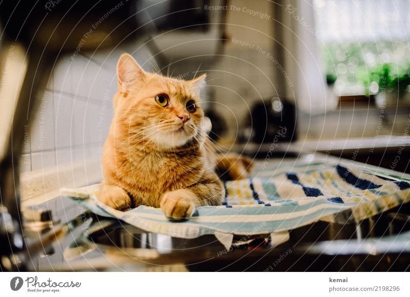 kitchen help Lifestyle Well-being Contentment Relaxation Calm Living or residing Flat (apartment) Kitchen Kitchen sink Animal Pet Cat Animal face Pelt 1