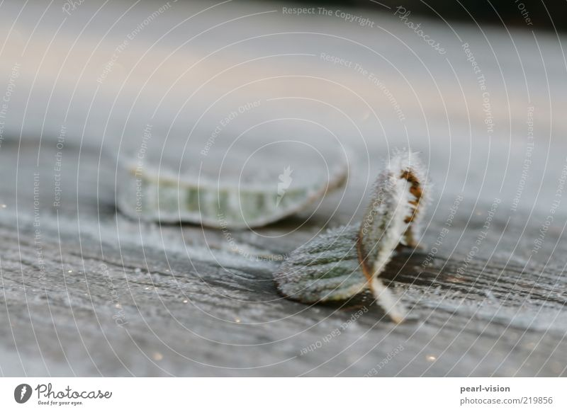 morning frost Nature Ice Frost Leaf Moody Colour photo Exterior shot Close-up Deserted Shallow depth of field Frozen Precipitation Rachis Wood Copy Space top