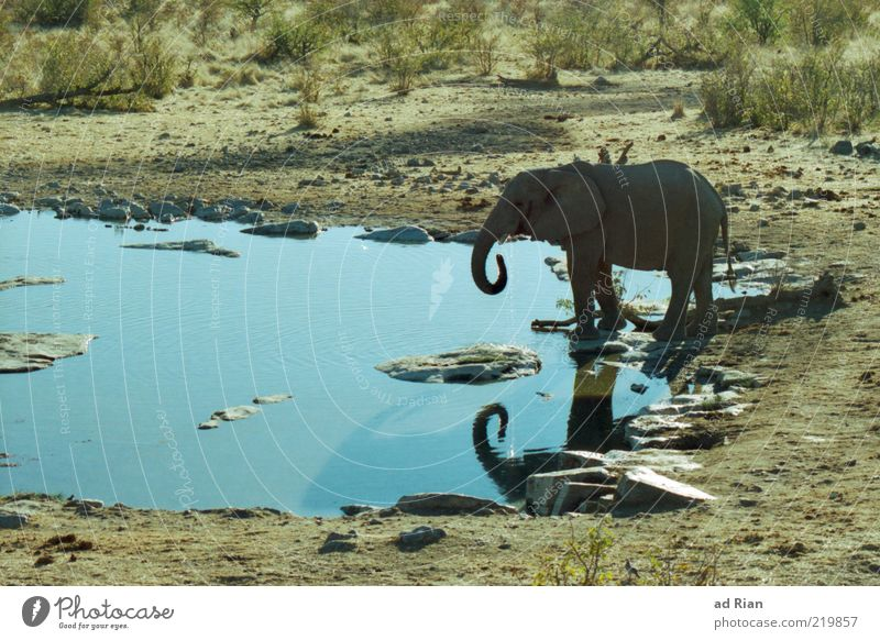 elephant bath Nature Water Animal Wild animal Elephant 1 Colour photo Baby animal Baby elefant Trunk Watering Hole Surface of water Copy Space left Steppe
