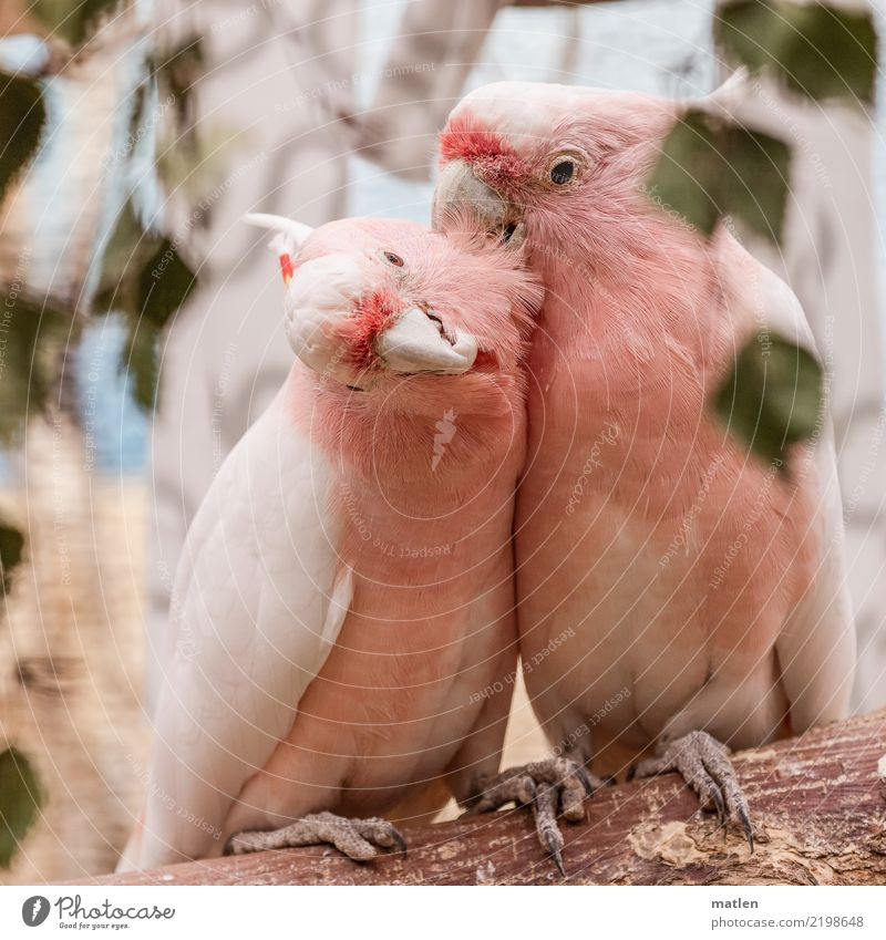 Green Animal Brown Bird Pink Pair of animals Lovers Kissing Caresses Cuddling Allocate Cockatoo