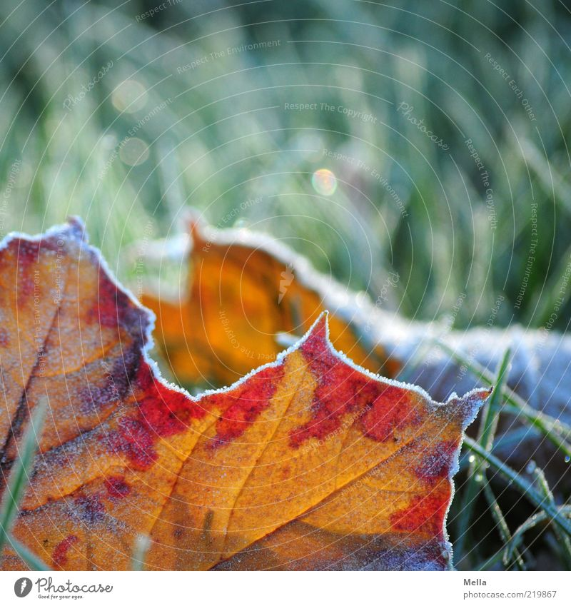 Partial Autumn Environment Nature Earth Winter Climate Climate change Ice Frost Plant Grass Leaf Meadow Freeze Lie Cold Natural Green Red Moody Decline