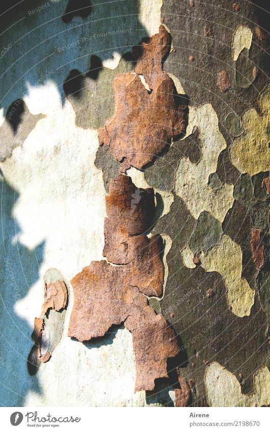 exfoliation Skin Plant Tree Tree trunk American Sycamore Tree bark Natural Dry Blue Brown Red White Bravery Cleanliness Personal hygiene Beautiful Change Auburn