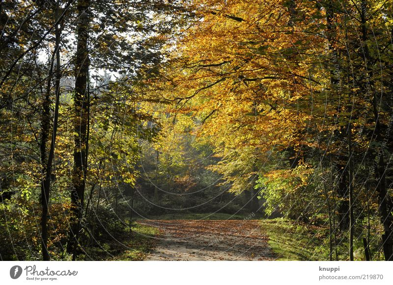 autumn Environment Nature Autumn Beautiful weather Plant Tree Bushes Leaf Wild plant Forest Dream Brown Yellow Gold Green Black Deciduous tree Autumn leaves