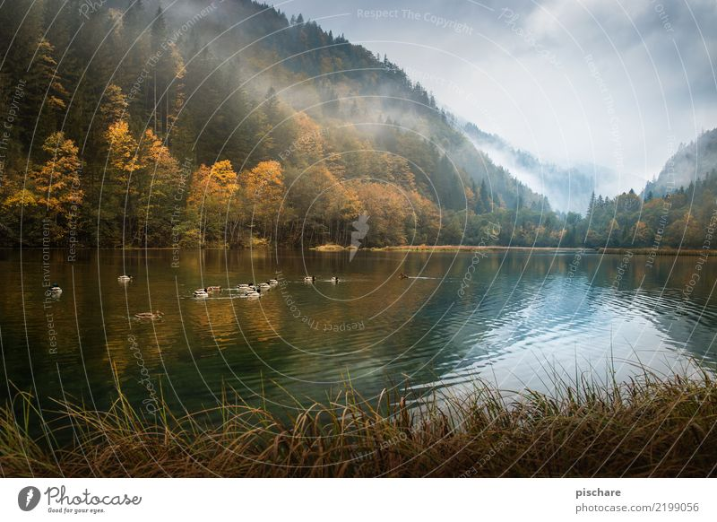 Nature Water Landscape Forest Environment Autumn Natural Brown Fog Group of animals Pond Duck Austria