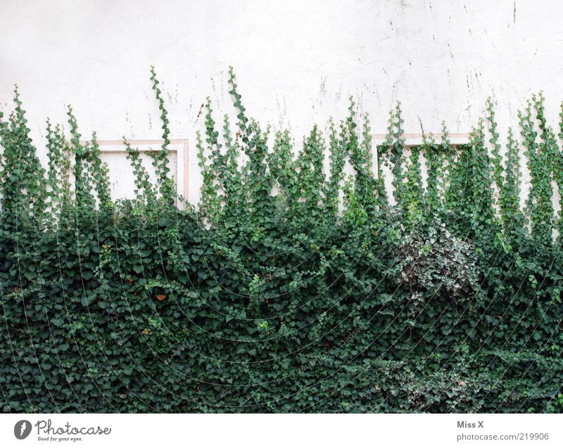 ivy wall Plant Bushes Ivy Leaf Wall (barrier) Wall (building) Growth Tendril Colour photo Exterior shot Deserted Copy Space top Copy Space bottom