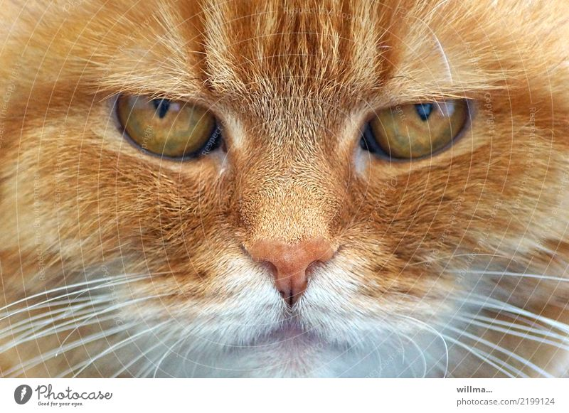 eyes of a beautiful redheaded cat, animal portrait Cat Domestic cat Animal face 1 Observe Cute Pet Auburn Looking into the camera Whisker Animal portrait
