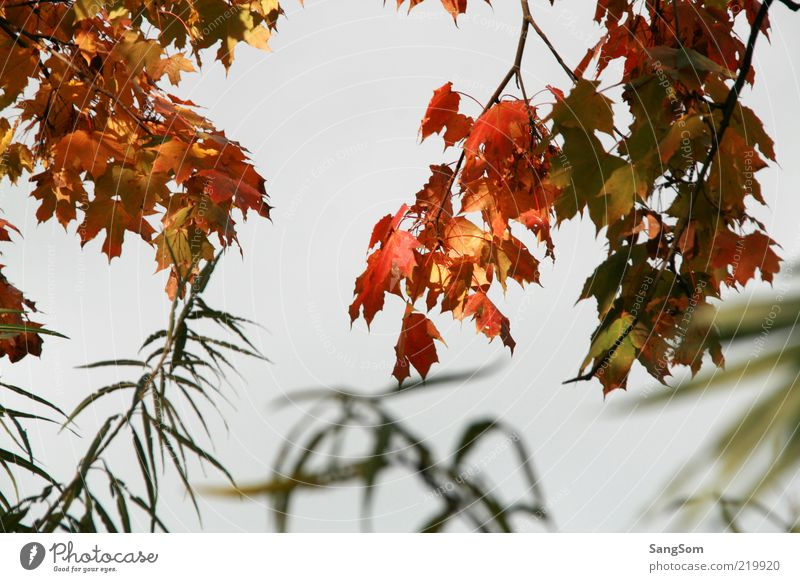 Sky Nature Beautiful Green Red Leaf Yellow Autumn Wood Moody Brown Gold Bushes Autumn leaves Autumnal Maple tree