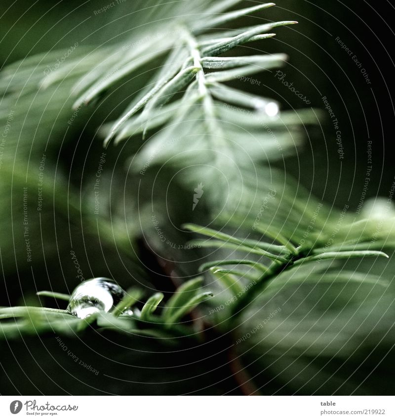dark and gloomy Environment Nature Plant Drops of water Tree Leaf Foliage plant Wild plant Exotic Coniferous trees Illuminate Growth Dark Wet Green Black Silver